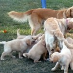 パパもママも一緒になってじゃれ合うゴールデンレトリバーの子犬たち♡