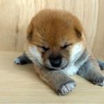 生後3週間のコロッコロの柴犬の赤ちゃん。モフモフ綿毛でカワイさ全開