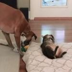 猫にベッドを奪われたワンちゃん。オモチャと物々交換を申し出た結果…