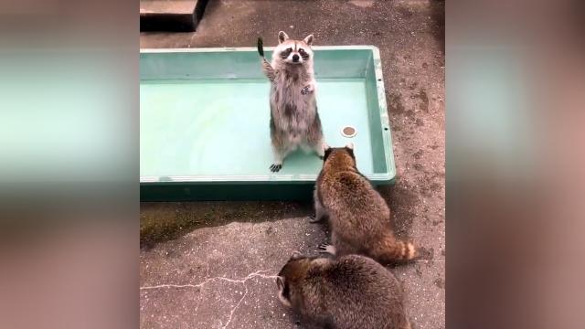 「ぼくまだ食べてないです」と手をあげてクッキーをおねだりするアライグマ