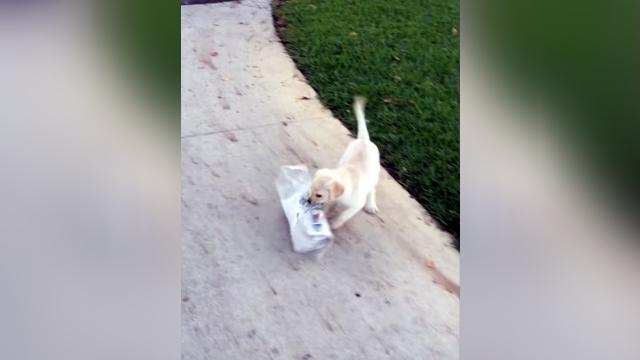 新聞を運ぶのに苦労しているラブラドールの子犬