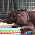 水遊びが大好き!|初めてのプールに興奮し過ぎなゾウの赤ちゃん