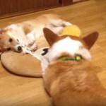 ロープの取り合いをする先住犬のコーギーと生後6ヶ月のコーギー♡