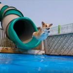 夏本番!|大好きなプールで夏をエンジョイするコーギー犬たち