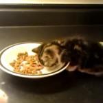 ご飯を食べている子猫。さっきからぜんぜんご飯が減ってないんだけど…