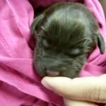 獣医師の安楽死の提案に反対し、障害を持つ子犬を引き取ることにした獣医師の助手