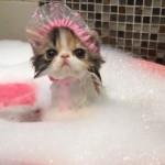 シャワーキャップをかぶって入浴中の子猫。可愛さ全開!