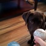 飼い主を気遣って嫌々ボール遊びをするワンちゃん