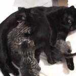 6匹の子猫に愛情を注いで子育てをする優しい母猫の姿にほっこり♡