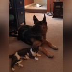 激しくじゃれ合う子猫たちが気になって仕方がない心配性の犬