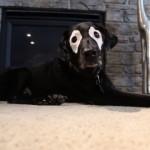 皮膚疾患により目の周りだけ白くなってしまったラブラドール犬
