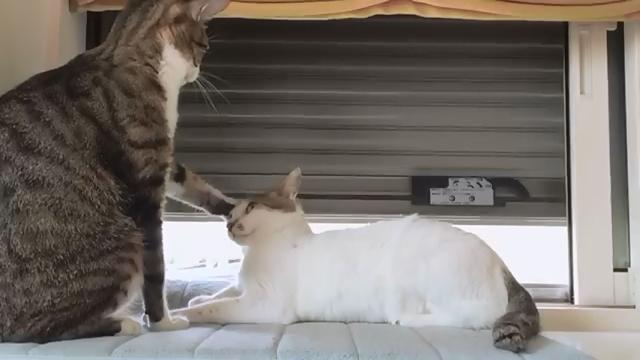 ケンカなのか、じゃれ合いなのか…、よくわからない2匹のネコ