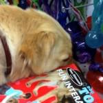 保護施設から引き取られ、生まれて初めてのオモチャ選びをする犬の姿に感動。