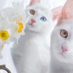 宝石のような美しい「オッドアイ」を持つ双子の姉妹猫 12枚