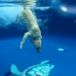 プールに潜ってフリスビーを拾うワンちゃんの予想外の行動
