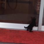 ドアの前で行ったり来たり…、どうしてもうどん屋の店内に入りたい子猫