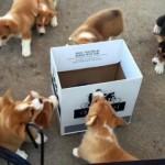 コーギーの子犬たちにダンボール箱を与えた結果、予想以上の反応にびっくり!
