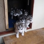 只今渋滞発生中!?|戸口で立ち往生するアラスカン・マラミュートの子犬たち
