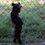 着ぐるみをかぶった人間のように、二足立ちしながら優雅に散歩中のクマ