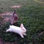 ウサギと追いかけっこをする子猫。ウサギのあまりの速さについて行けず