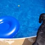プールに落ちたボールが欲しいけど、泳いで濡れたくないワンちゃん