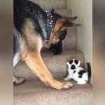 階段を苦労して上る小さな子猫をもどかしそうに見守る大型犬にほっこり