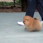 歩くだけで癒やしを振りまくポメラニアンの子犬、悶絶級の可愛さ♡