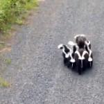 はらはらドキドキ!?|可愛いスカンクの親子に遭遇したサイクリスト