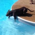 初めてのプール、前足で水をバシャバシャしながら犬掻きの練習をするピットブル