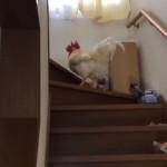 「息子を起こしてきて」と頼まれ、階段を登っていくニワトリの気迫の雄叫び!