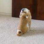 どうしたの?|頭を真後ろに仰け反って後方を見る奇妙な柴犬(笑)