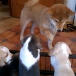 ビーグルの子犬たちに突然すり寄られ、おどおどする柴犬