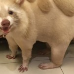 台湾に住むペットのアライグマ、ユニークなヘアカットが話題に