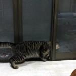 外に出ようとして網戸に挟まったドジな猫