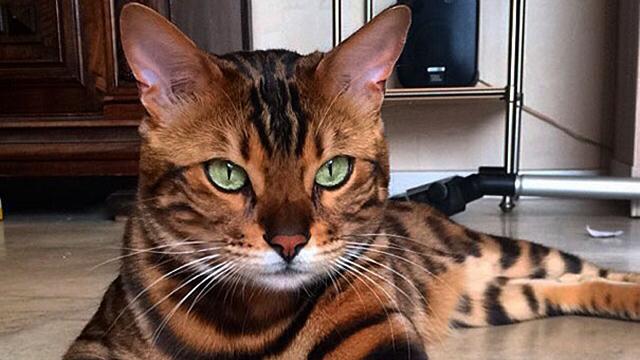 エメラルドグリーンの瞳を持ち、虎のように凛々しい姿をしたベンガル猫 15枚