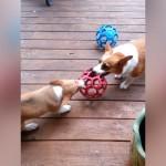 負けん気の強い新入りの子コーギーにタジタジの先住犬たち(笑)