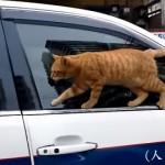 車から滑り落ちて照れ隠しをするネコ。バレバレな態度が面白かわいい!