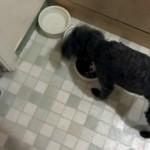 ドライフードとウェットフードを自分好みに配合して食べるプードル犬