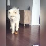 「ブー、ブー」と鳴るオモチャの音を聞くと歌いはじめる不思議なサモエド犬