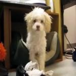 気性の激しい犬、イタズラがバレて予想外のリアクション