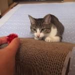 オモチャのキャッチに失敗して同居ネコに八つ当たりするネコ