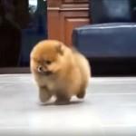 歩くだけで癒やしを振りまくポメラニアンの子犬 2