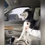 ドライブ中、飼い主に撫で撫でを催促するハスキー犬