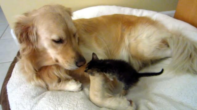 新しく家族になった子猫をやさしく迎え入れる先住犬のゴールデンレトルリバー