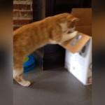ダンボール箱に興味津々なネコ。中を覗き込もうとした結果(笑)