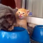 母猫に水の飲み方を教わりながら、美味しそうに舌鼓を打つ子猫