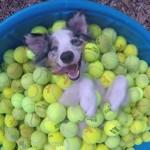 テニスボールが大好きなワンちゃん。ボールに埋もれながら至福のひと時