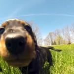 フィールドを駆け回るダックスフントの子犬を犬の視点で捉えた躍動感溢れる映像