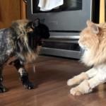夏スタイルにトリミングしたら、弟猫と気付かず威嚇するお姉ちゃん猫