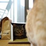 ダンボール箱に入って眠たそうなトラ猫にささかな意地悪をするマンチカン猫